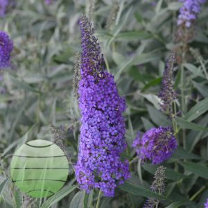 Walter Blom Plants Buddleia Blue Knight
