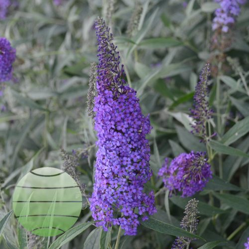 Walter Blom Plants Buddleia Blue Knight