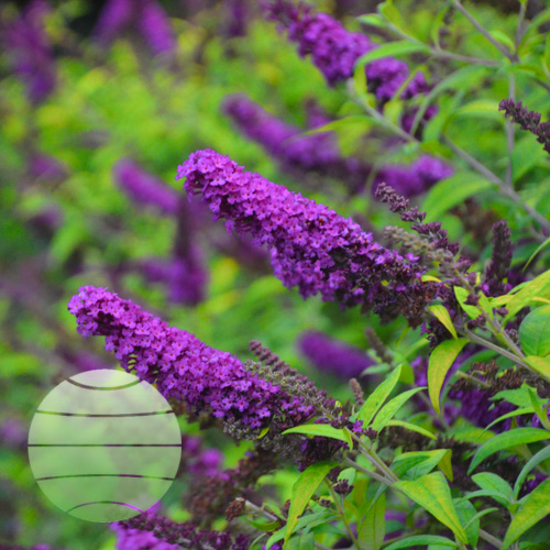Walter Blom Plants Buddleia Crown Jewels