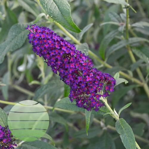 Walter Blom Plants Buddleia Dark Dynasty