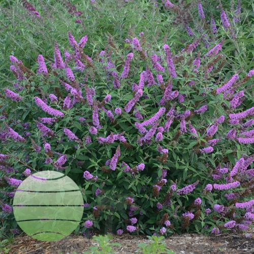 Walter Blom PLants Buddleia Lavender Cupcake