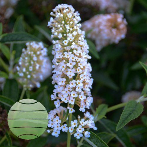 Walter Blom Plants Buddleia Little Angel