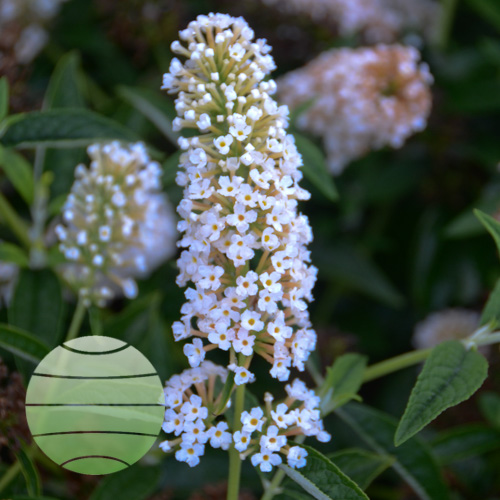 Walter Blom Plants Buddleia Little Angel
