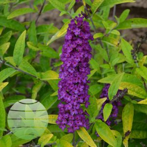 Walter Blom Planys Buddleia Little Nugget