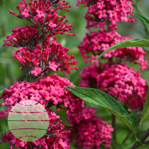 Walter Blom Plants Buddleia Prince Charming
