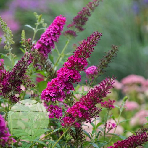 Walter Blom Plants Buddleia Queen of Hearts