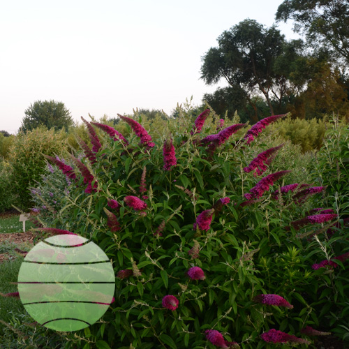 Buddleia Queen of Hearts_CJW16 (4)