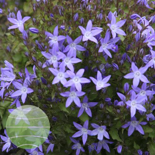 Walter Blom Plants Campanula Blue Rivulet