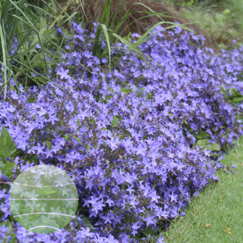 Walter Blom Plants Campanula Blue Waterfall