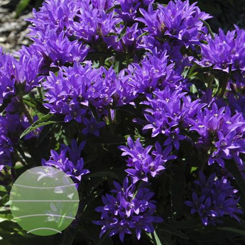 Walter Blom Plants Campanula Genti Blue