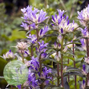 Walter Blom Plants Campanula Genti Twister Bell