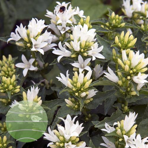 Walter Blom Plants Campanula Genti White