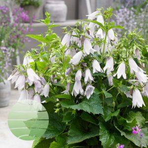 Walter Blom Plants Campanula Iridescent Bells