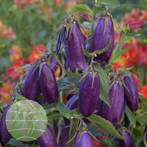 Walter Blom Plants Campanula Red Sarastro