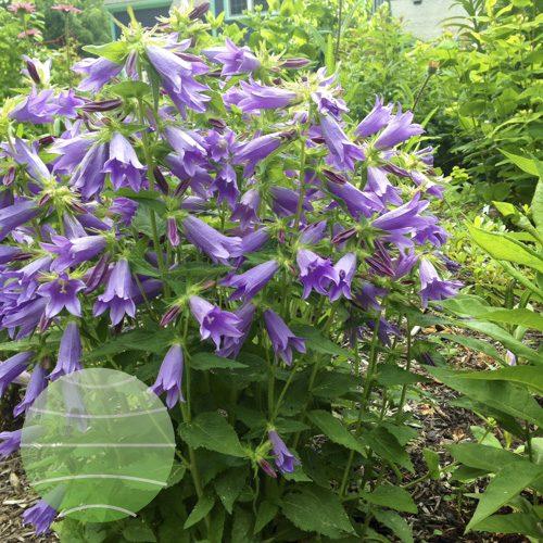 Walter Blom Plants Campanula Viking