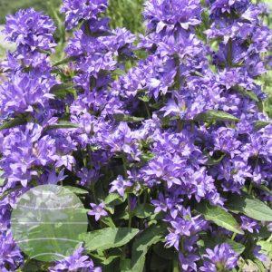 Walter Blom Plants Campanula glomeraata Freya