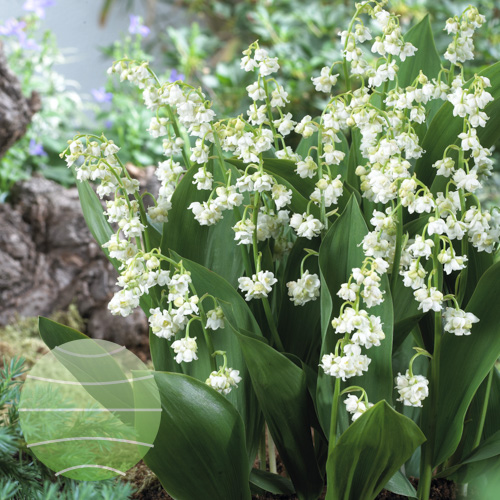 Walter Blom Plants Convallaria majalis Prolificans