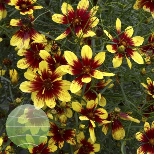 Walter Blom Plants Coreopsis Bengal Tiger