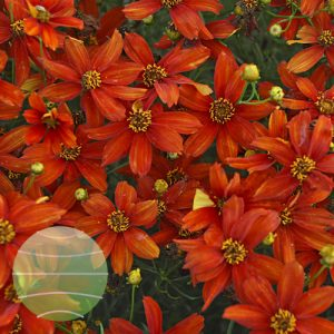 Walter Blom Plants Coreopsis Crazy Cayenne