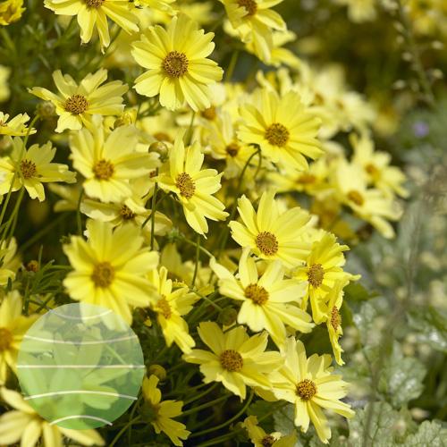 Walter Blom Plants Coreopsis Creme Brulee