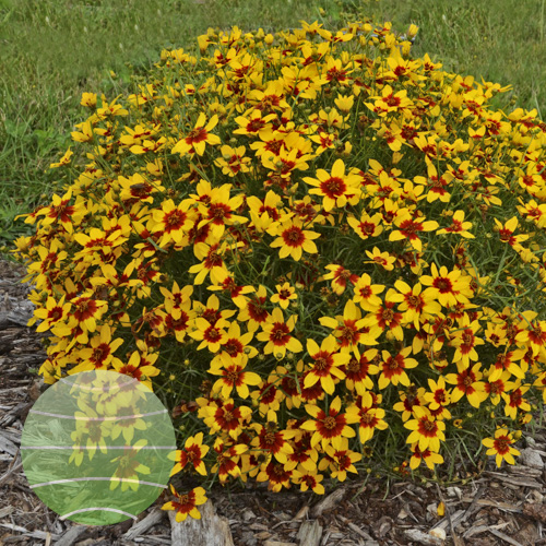 Walter Blom Plants Coreopsis Curry Up