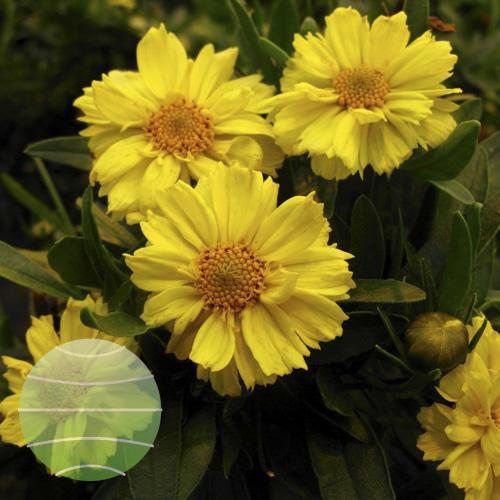 Walter Blom Plants Coreopsis 'Galaxy'
