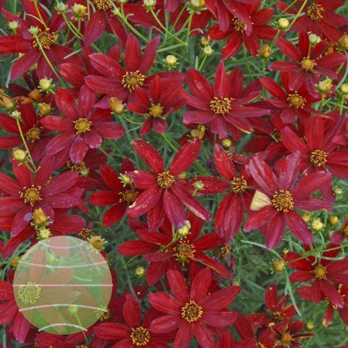 Walter Blom Plants Coreopsis Hot Paprika