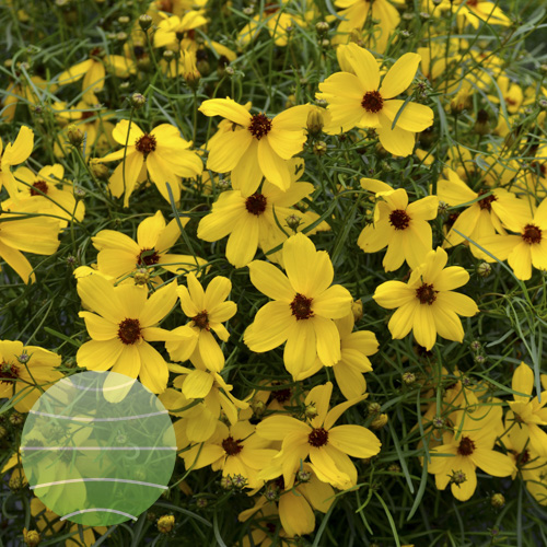 Walter Blom Plants Coreopsis Imperial Sun