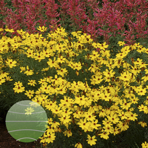 Coreopsis Imperial Sun 3b