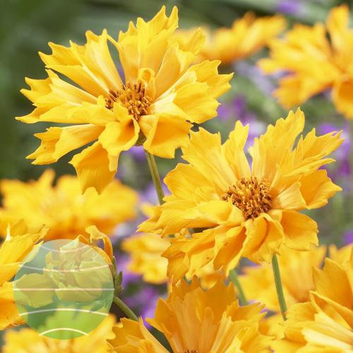 Walter Blom Plants Coreopsis Jethro Tull