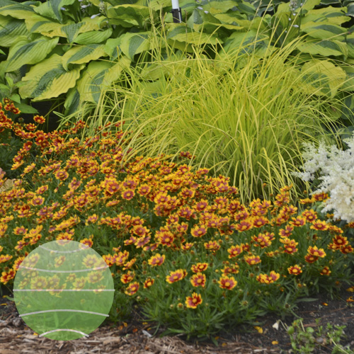 Walter Blom Plants Coreopsis L'il Bang Daybreak