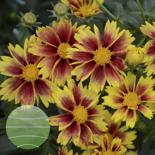 Walter Blom Plants Coreopsis Lil Bang Enchanted Eve