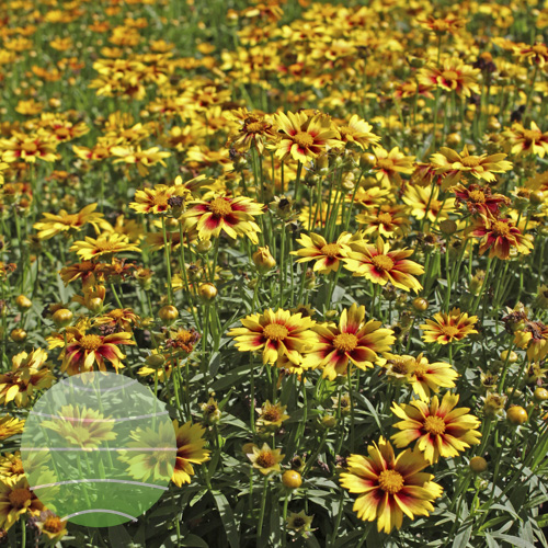 Coreopsis Lil Bang Enchanted Eve 02