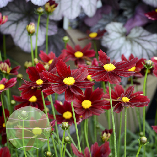 Coreopsis L'il Bang Red Elf 01
