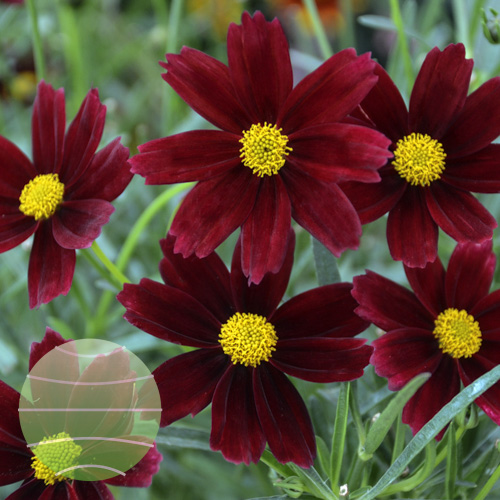 Walter Blom Plants Coreopsis L'il Bang Red Elf