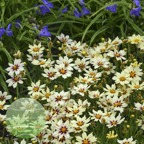 Walter Blom Plants Coreopsis L'il Bang Starlight