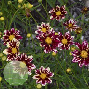 Walter Blom Plants Coreopsis Mercury Rising