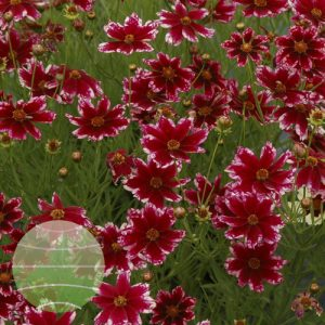 Walter Blom Plants Coreopsis Ruby Frost