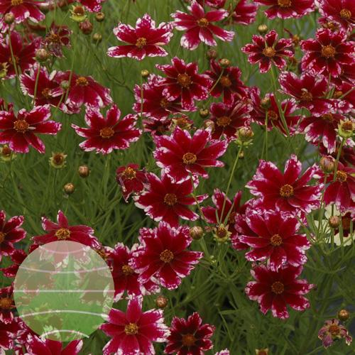 Walter Blom Plants Coreopsis Ruby Frost