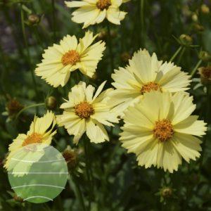 Walter Blom Plants Coreopsis Solanna Glow