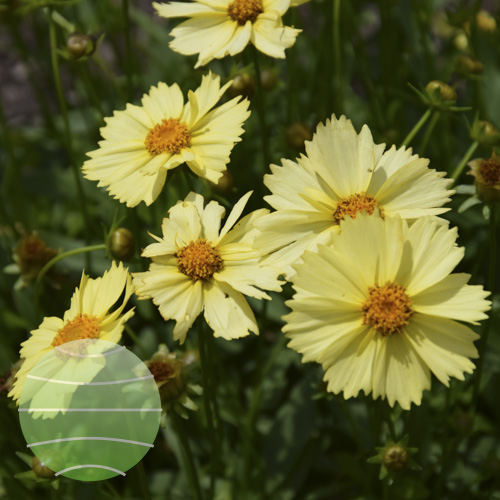 Walter Blom Plants Coreopsis Solanna Glow