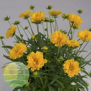Walter Blom Plants Coreopsis Solanna Golden Crown