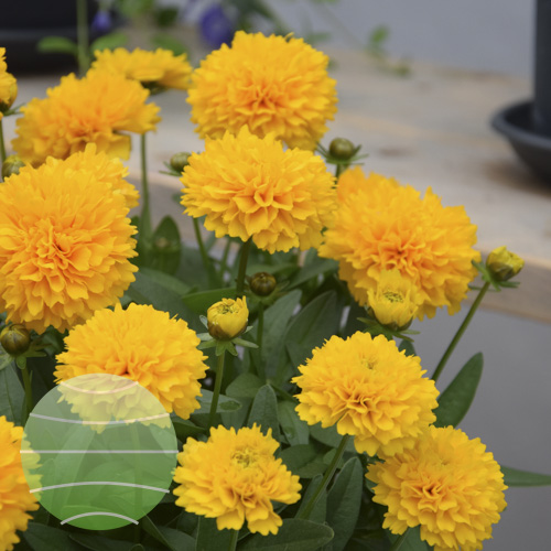 Walter Blom Plants Coreopsis Solanna Golden Sphere