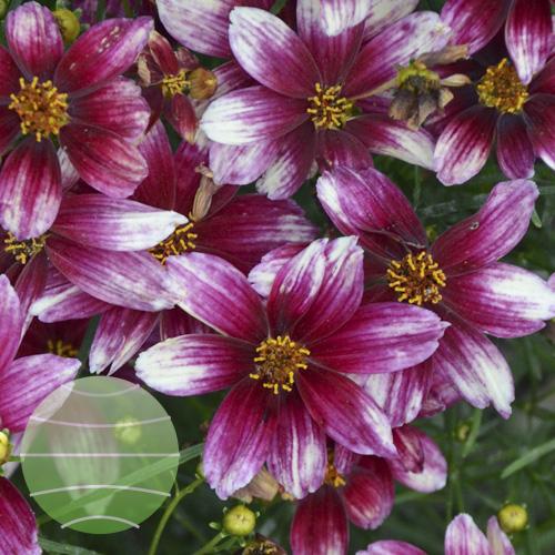 Walter Blom Plants Coreopsis Zesty Zinger