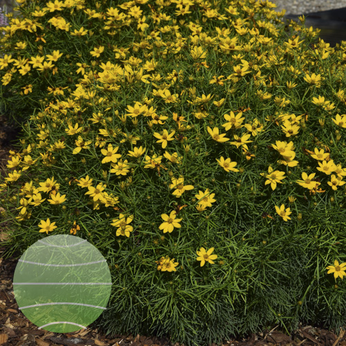 Walter Blom Plants Coreopsis verticillata Little Bird
