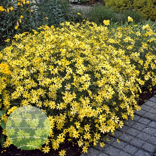 Walter Blom Plants Coreopsis verticillata Moonbeam