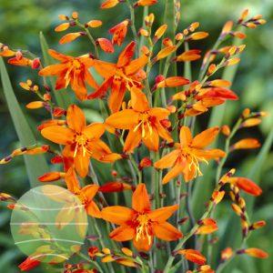 Walter Blom Plants Crocosmia Babylon