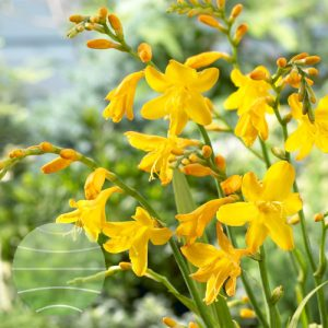 Walter Blom Plants Crocosmia Buttercup