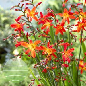 Walter Blom Plants Crocosmia Carmine Brilliant