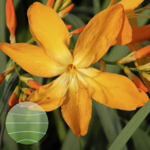 Walter Blom Plants Crocosmia Disco Dancer
